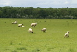 breeding time/spring. lambing season. Ewe & lambs in field poster