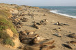 Elephant seals at the beach