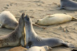 Elephant seals mating at the beach, USA, California