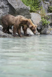 USA, Alaska, two Brown Bears drinking at river