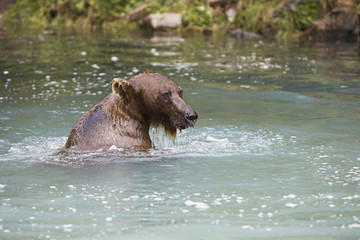 USA, Alaska, Brown Bear swimming in river