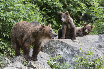 USA, Alaska, three Brown Bears on rocks