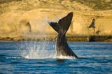 Right whale in Peninsula Valdes, Patagonia, Argentina poster