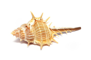 Thorn Conch Shell