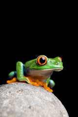 frog on rock isolated black