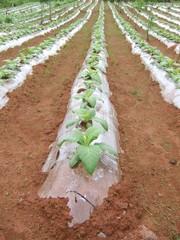 champ de tabac