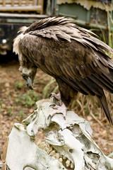 buzzard standing on skull