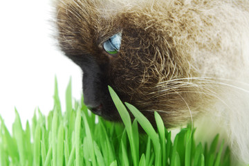 Cat smelling a green grass