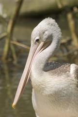 Pink-backed Pelican (Pelecanus Rufescens)