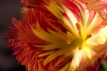 Tulip in sunshine