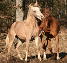 Arabian colts fighting