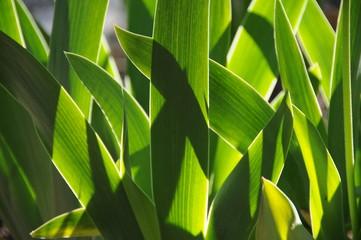 iris leaves
