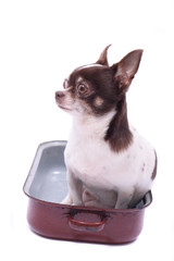 chihuahua in the pot