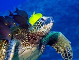 Fish eating the algae on a turtle