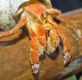 hermit crab crawling on mangrove branch poster