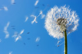 Dandelion Flying Seeds - 7711607