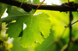 Grape leaf close-up. Shallow DOF.