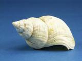 Common Northern Whelk seashell poster