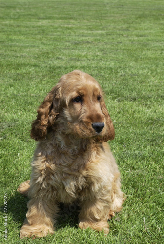Chien de race Cocker Spaniel