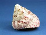 Speckled tegula seashell poster