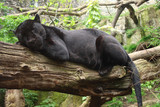 Fototapety Black Jaguar