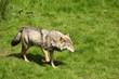 Fototapeta Szkocja - Zoo - Dziki Ssak