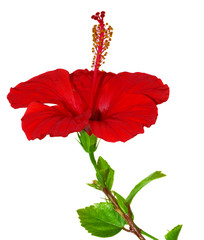 isolated red hibiscus