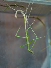 Molting stick-insect