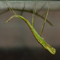Stick insect in the moment of releasing from old envelop