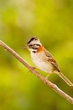 Rufous-collared Sparrow (Zonotrichia capensis) poster