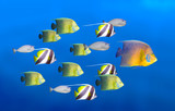 Leadership concept - big fish leading school of tropical fishes poster