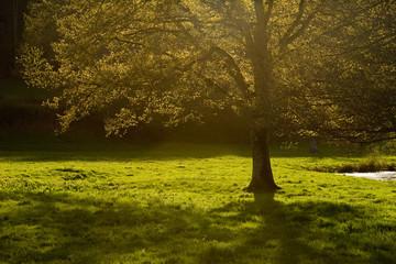 arbre campagne nature printemps soleil vert lumière verdure chên