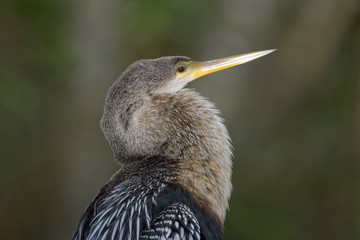 Anhinga perched on a branch