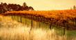 Orange Vineyard