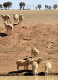 Sheep in Australia poster
