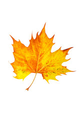 One maple leaf