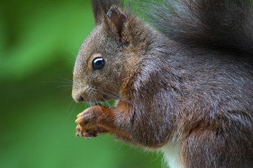 Eichörnchen
