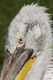 head of the Dalmatian pelican poster