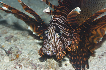 Tropical fish Lionfish