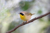 Common Yellowthroat (Geothlypis trichas) in early spring poster