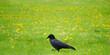 Walking Crow