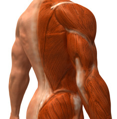 Anatomie et systeme musculaire