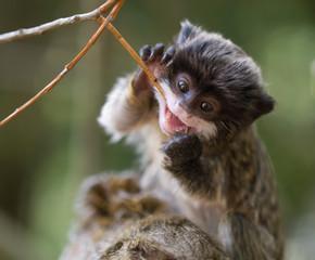 cute baby emperor tamarin