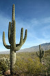 Giant Saguaro Cactus, Saguaro National Park, Arizona - 7790803