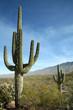 Leinwandbild Motiv Giant Saguaro Cactus, Saguaro National Park, Arizona