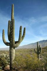 Gigantyczne Saguaro Cactus, Parku Narodowego Saguaro, Arizona