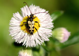 Longhorn On A Daisy