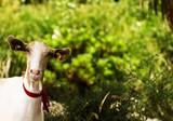 Maltese Goat poster
