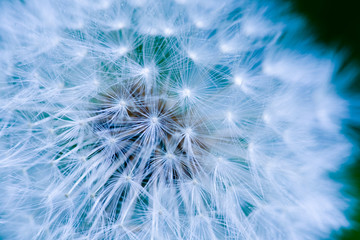 Dandelion Seed Background