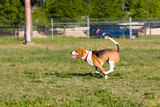 Classic Beagle Running poster